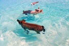 Swimming Pigs Exuma